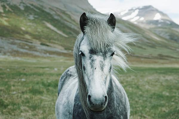 Horses-galloping